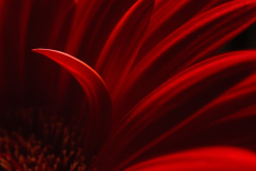 stock-photo-40529790-red-gerbera-daisy-different
